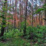 Sławica las